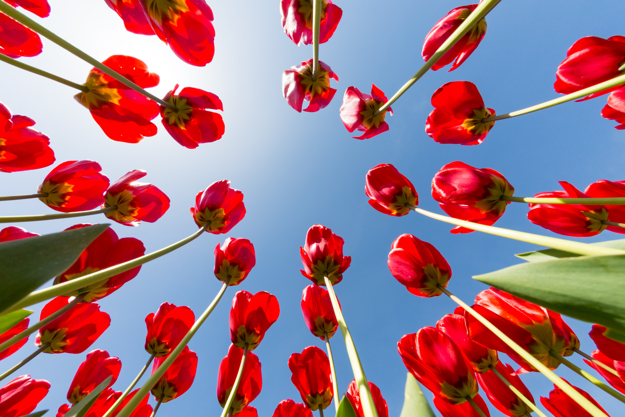 Multiple red tulips reaching to the sky