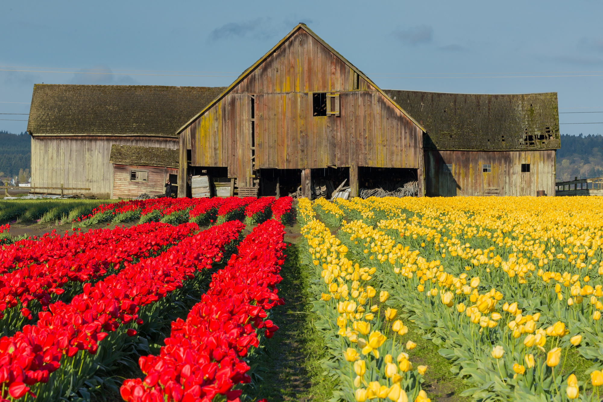 Tulip fields leading to a large barn