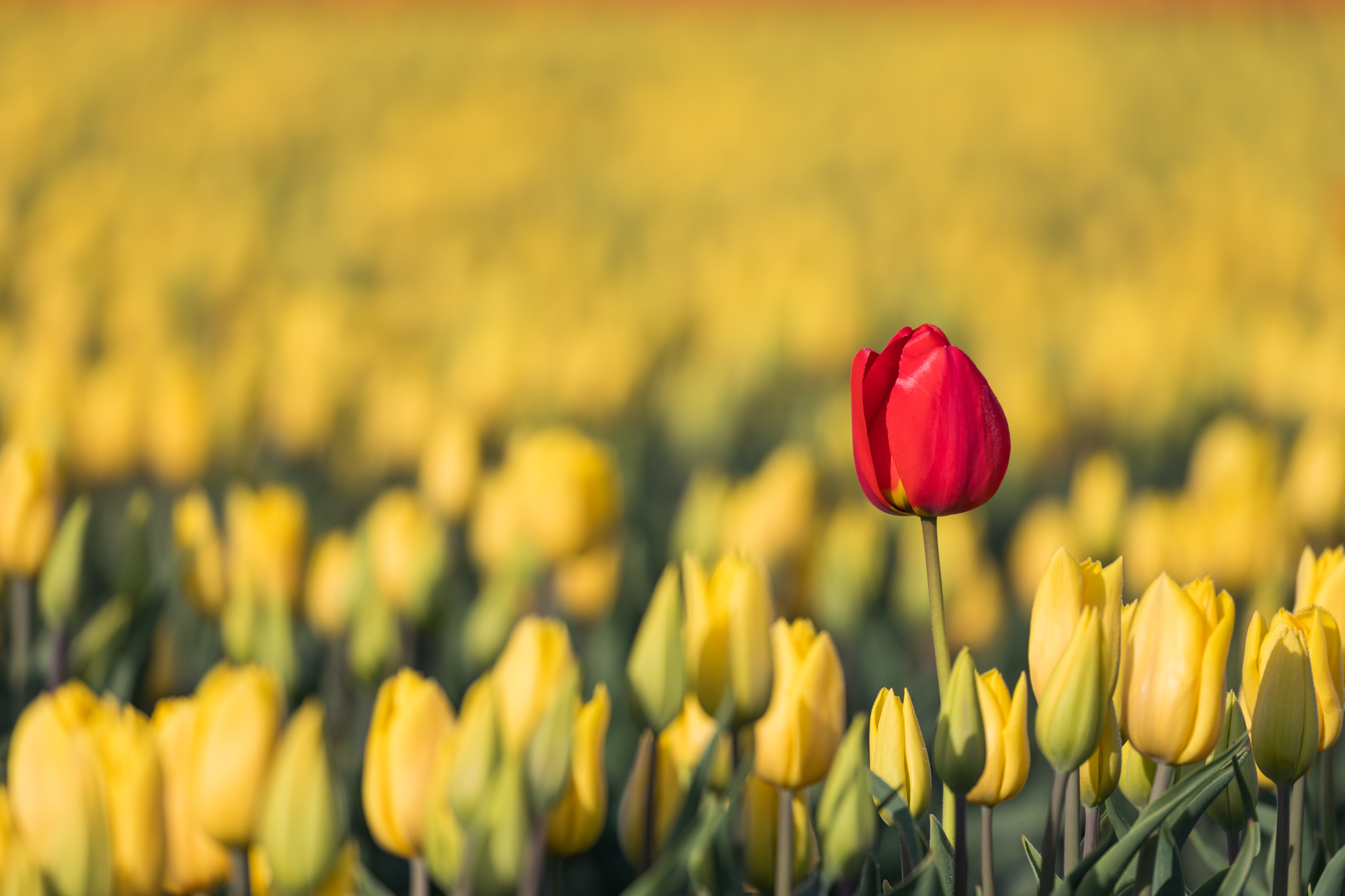 A single red tulip in a field of yellow tulips
