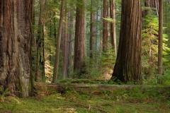 Landscape-Humbolt-Redwoods-trees-sun-john-greengo
