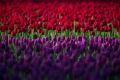 Landscape-Skagit-Valley-Tulip-purple-red-john-greengo