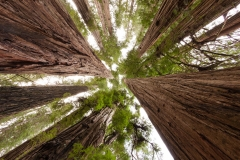 Landscape-redwoods-worms-eye-view-forest-jediah-smith-john-greengo