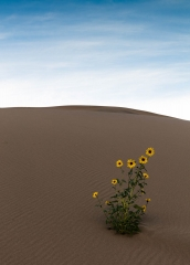 Landscape-sand-dunes-lonely-flower-john-greengo