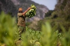 People-Cuban-Man-Farming-john-greengo
