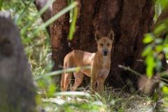 Wildlife-Australia-dingo-john-greengo