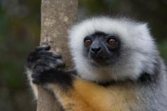 Wildlife-Diademed-Sifaka-madagascar-john-greengo