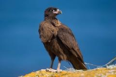 Wildlife-Striated-caracara-falklands-islands-Antartica-john-greengo