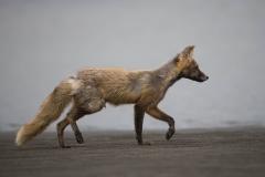 Wildlife-alaska-fox-katmai-coast-alaska-john-greengo