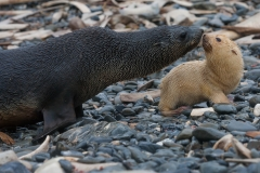 Wildlife-albino-seal-pup-with-older-curious-seal-john-greengo