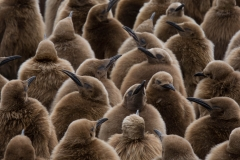 Wildlife-baby-penguins-brown-black-beaks-john-greengo