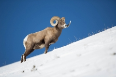 Wildlife-bighorn-sheep-yellowstone-np-john-greengo