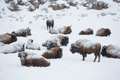 Wildlife-bison-in-snow-lamar-valley-yellowstone-np-john-greengo