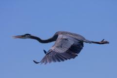 Wildlife-blue-heron-flying-seattle-john-greengo