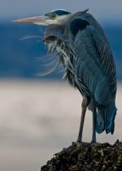 Wildlife-blue-heron-seattle-motion-blur-john-greengo