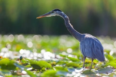 Wildlife-blue-herron-in-lilypads-seattle-john-greengo