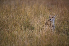 Wildlife-cheetah-hiding-grass-kenya-safari-john-greengo