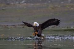 Wildlife-eagle-landing-alaska-john-greengo