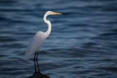 Wildlife-egret-white-long-necked-bird-john-greengo