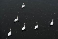 Wildlife-european-swans-john-greengo