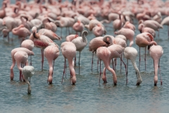 Wildlife-flamingo-flock-eating-kenya-john-greengo