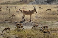 Wildlife-gazelles-babies-scattered-tanzania-john-greengo