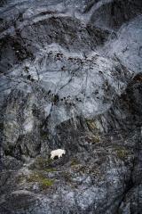 Wildlife-goat-climbing-steep-cliff-Alaska-john-greengo