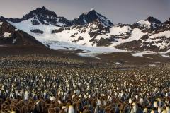 Wildlife-grand-landscape-penguins-as-far-as-can-see-john-greengo