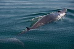 Wildlife-gray-whale-john-greengo