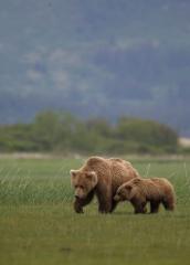 Wildlife-grizzly-bear-mom-bear-cub-walking-grass-alaska-john-greengo