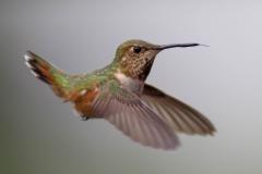 Wildlife-hummingbird-stopped in-motion-fast-shutter-speed-john-greengo