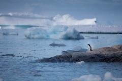 Wildlife-landscape-little-penguin-amoung-big icebergs-john-greengo