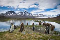 Wildlife--landscape- with-baby-penguins-fortuna-bay-water-mountains-john-greengo