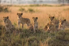 Wildlife-lion-cubs-lined-up-at attention-john-greengo