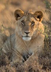 Wildlife-lion-looking-at-camera-at sunrise-john-greengo