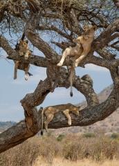 Wildlife-lions-hanging-out-in-tree-tanzania-john-greengo