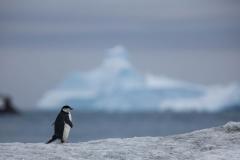 Wildlife-little-penguin-big-iceberg-john-greengo