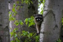Wildlife-local-racoon-in-tree-seattle-john-greengo