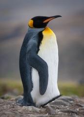 Wildlife-single-penguin-stepping-john-greengo