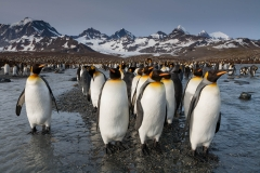Wildlife-small-penguin-group-foreground-mountains-background-john-greengo