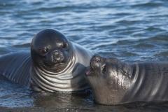 Wildlife-surprised-looking-seal-Jason-Harbor-Antartica-john-greengo
