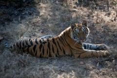 Wildlife-tiger-india-lying-down-john-greengo