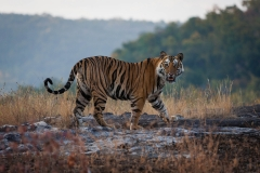 Wildlife-tiger-india-walking-away-face-to-camera-john-greengo