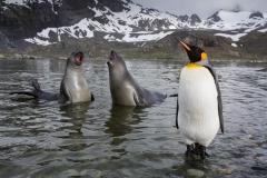 Wildlife-two-seals-yelping-in water-penguin-standing-foreground-john-greengo