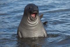 Wildlife-very-surprised-looking-seal-o-rly-seal-john-greengo
