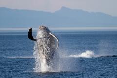 Wildlife-whale-breaching-alaska-john-greengo