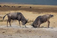 Wildlife-wilderbeasts-butting-heads-tanzania-john-greengo