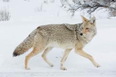 Wildlife-wolf-lamar-valley-wyoming-john-greengo