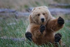 Wildlife-young-grizzly-bear-feet-up-sitting-down-alaska-john-greengo