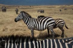 Wildlife-zebra-line-up-tanzania-john-greengo