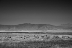 Wildlife-zebras-on-the-plains-ngorongoro-crater-black-white-john-greengo